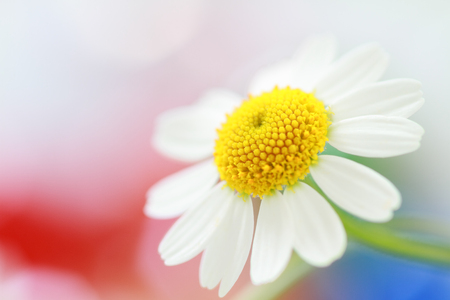 Camomile flower on colorful background