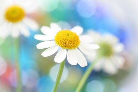 Camomile flowers on colorful background