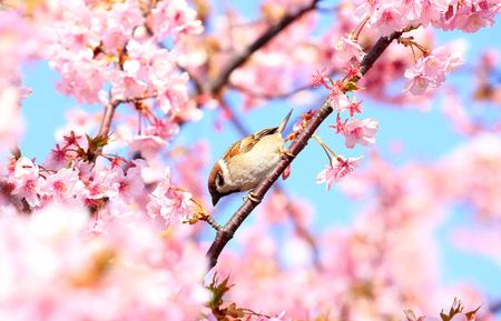Sparrow with cherry blossom
