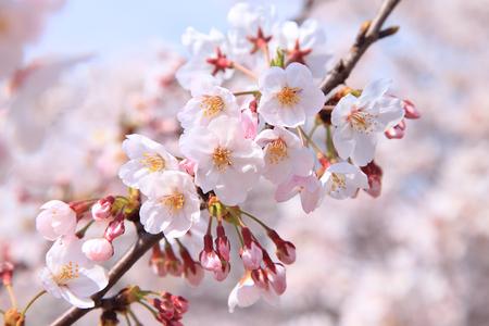 東京の桜 写真素材