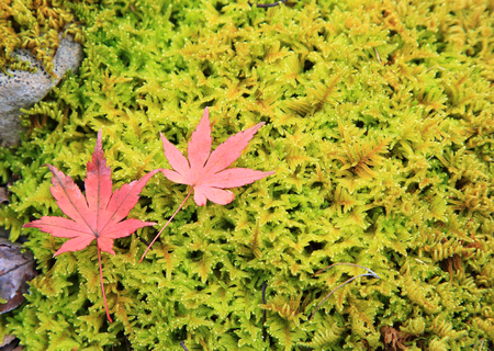 Momiji leaves on green grass
