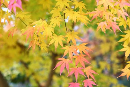 Japanese maple, Autumn leaves
