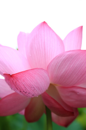 Close up of Lotus flower