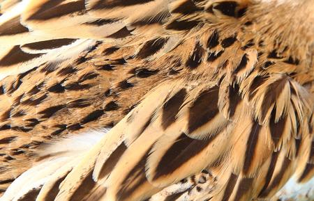 背景の鴨の羽 写真素材