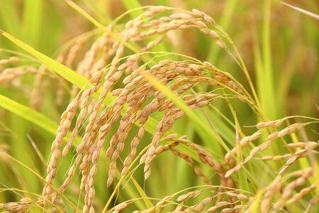 Rice field close up