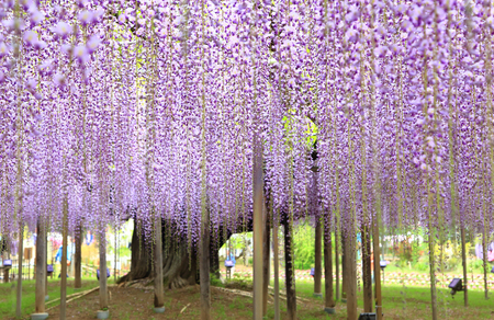 Purple wisteria blossom tree at Ashikaga Flower Park Stock Photo