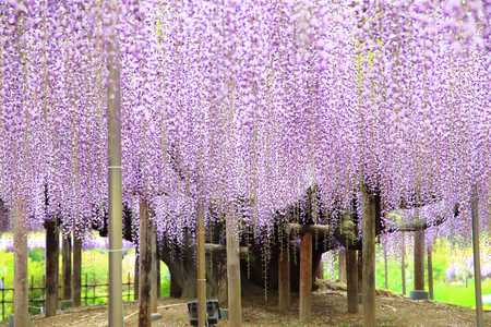 Purple wisteria blossom tree at Ashikaga Flower Park Stock Photo