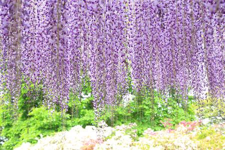 あしかがフラワーパークの藤の花