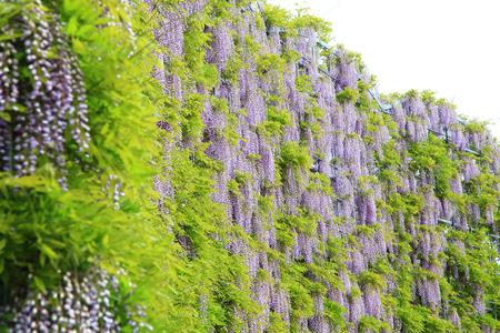 Purple wisteria at Ashikaga Flower Park