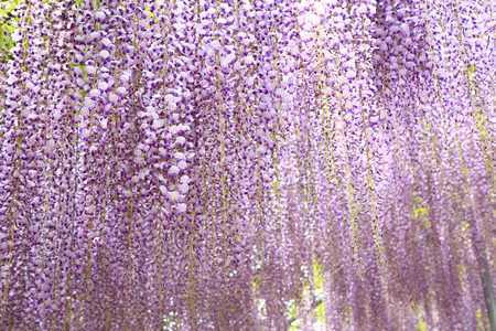 Purple wisteria blossoms in full bloom at Ashikaga Flower Park