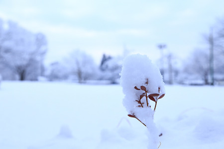 Snow covered leaves Stock Photo