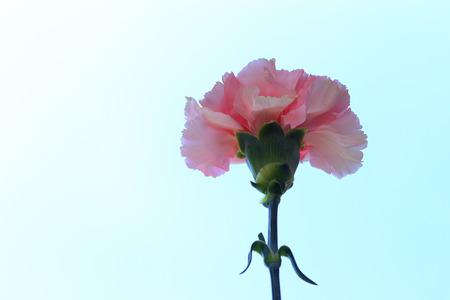 Pink carnation flower against a blue sky