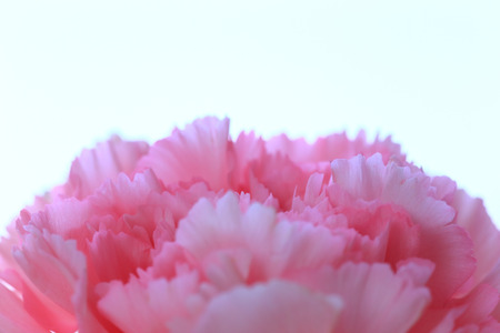 Pink carnation flower close up Stock Photo
