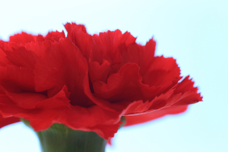 Red carnation flower close up Stock Photo