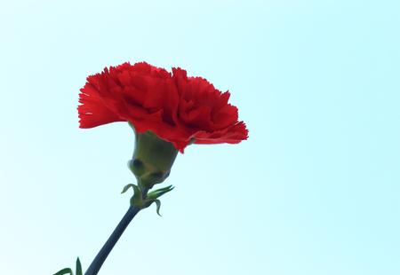 Red carnation flower against a blue sky