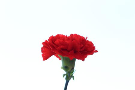 Red carnation flower Stock Photo