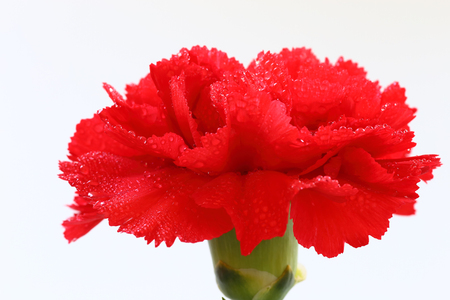 Red carnation flower with water droplets