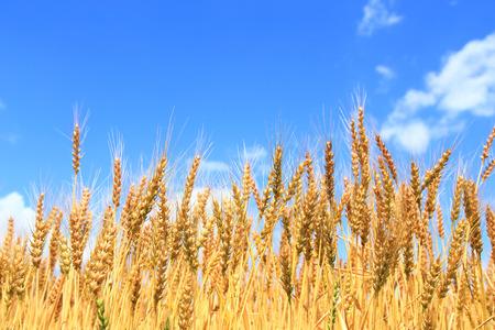 Golden wheat ears on field under blue sky