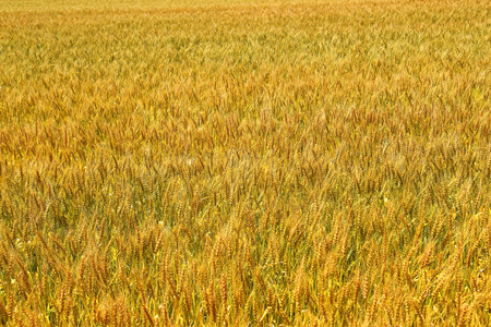 Background of wheat field