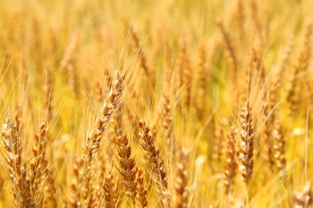 Golden wheat ears on field