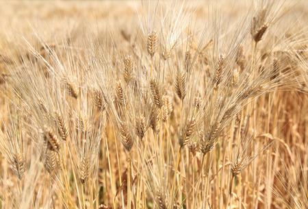 Barley ears on field