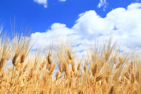 Barley ears on field under blue sky