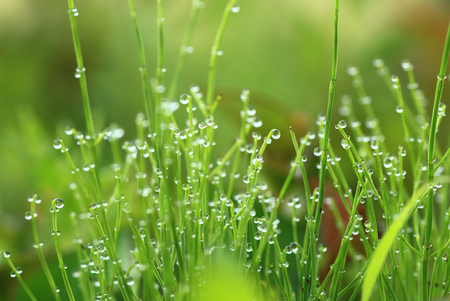 Morning dew drops on horsetail Stock Photo