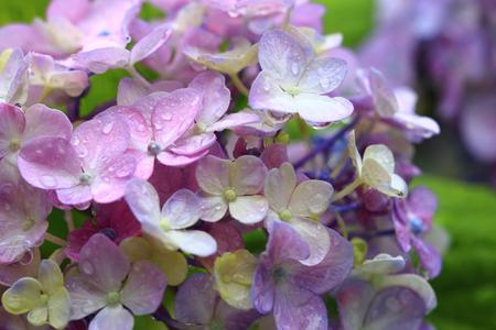 Hydrangea wet in the rain