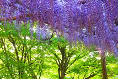 wisteria: Garden of wisteria Stock Photo