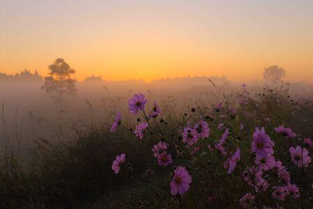 朝の霧とコスモス 写真素材