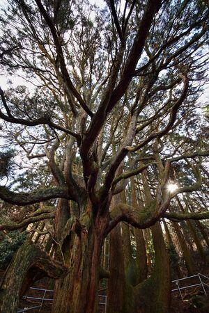 cedar: Large cedar