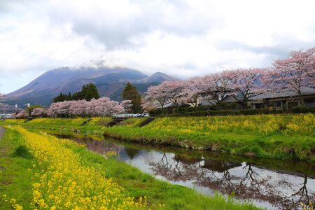 由布院の川と桜の木の