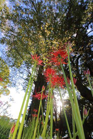 Cluster-Amaryllis Woods