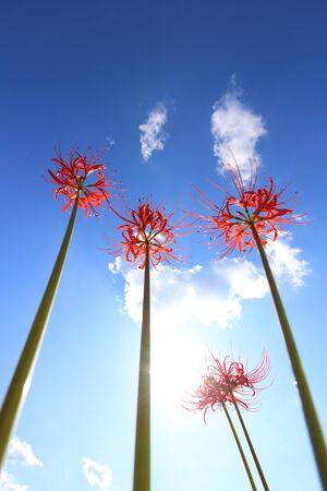 Amaryllis with blue sky