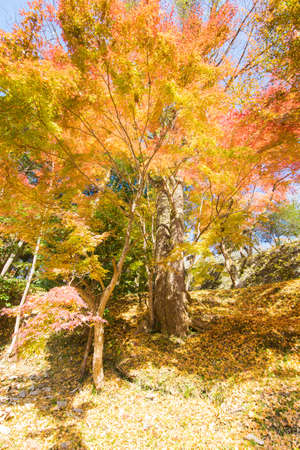 Autumn leaves in the precincts of the shrine 写真素材