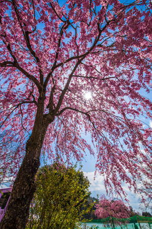 Cherry blossoms and a blue sky