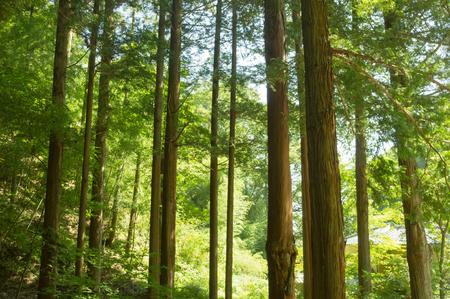 conjugation: Forest of cedar trees in Japan
