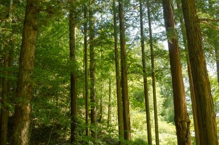Forest of cedar trees in Japan