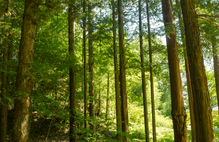 green brown: Forest of cedar trees in Japan