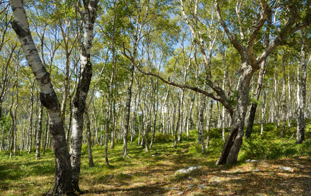 uncompahgre national forest: Birch forest. White tree Stock Photo