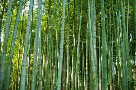 bamboo leaves: bamboo forest