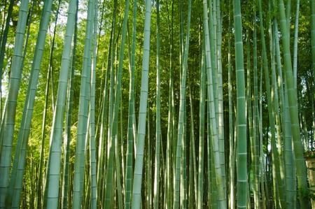japones bambu: bosque de bamb?