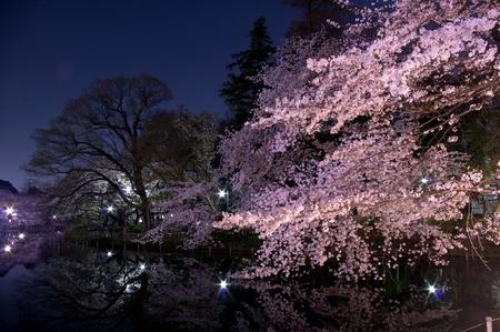 dark cherry: Tokyo,cherry blossoms in night,Pink,pond