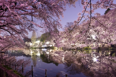 blossom tree: Tokyo,cherry blossoms in night,Pink,pond