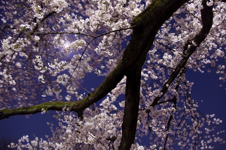 kink: Tokyo,cherry blossoms in night,Pink,pond