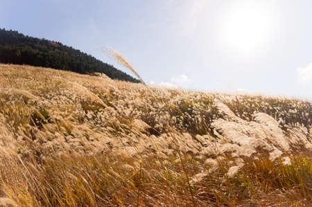 wavering: pampas grass field
