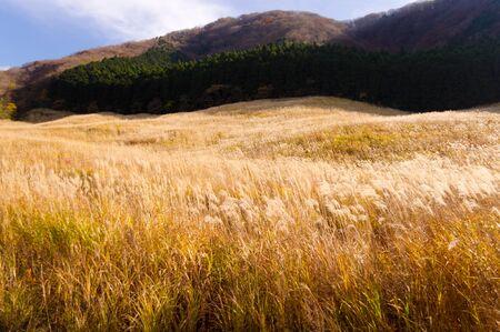 pampas: pampas grass field