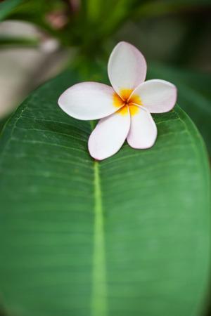 plumerias: Plumerias on the green leaf