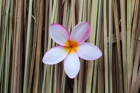 plumerias: Plumerias on Imperata cylindrica Beauv Stock Photo