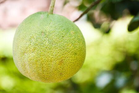 pomelo: pomelo on tree Stock Photo